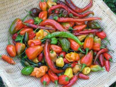 Characteristics of the variety of peppers Love