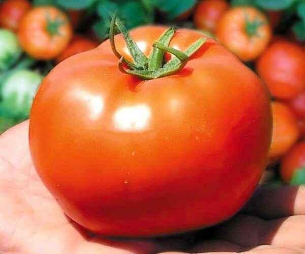 Characteristics of tomato Bobcat