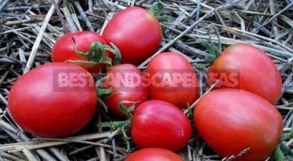 Characteristics of tomato De Barao Pink