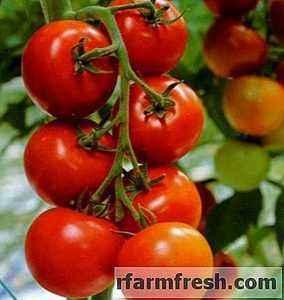 Characteristics of tomato Dubrava