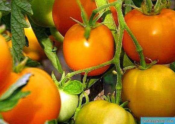 Characteristics of tomato varieties Golden King and Golden Queen