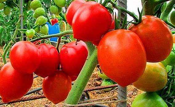 Characteristics of tomato varieties Petrush Ogorodnik