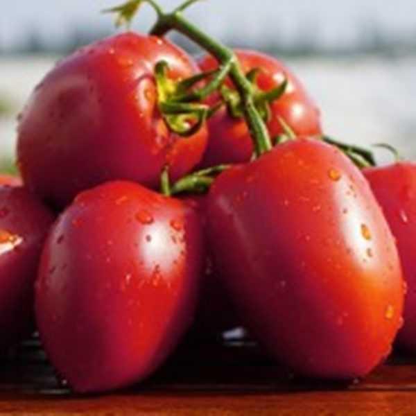 Characteristics of tomato varieties Rio Fuego