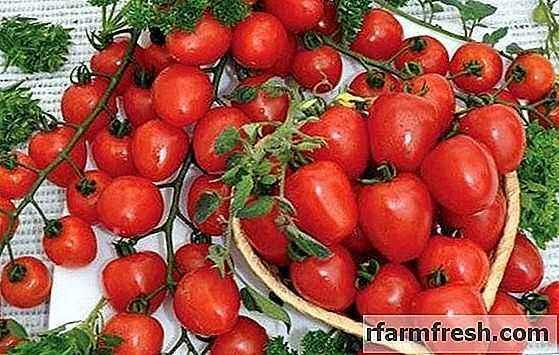 Characteristics of tomato varieties Strawberry Tree