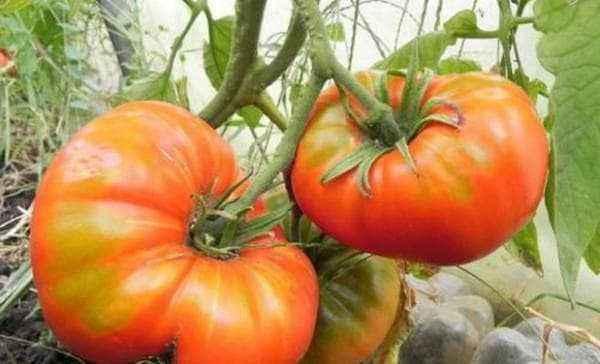Characteristics of tomato variety Danko