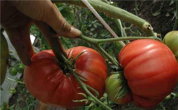 Characteristics of tomato variety Japanese