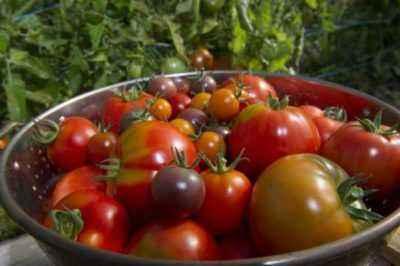 Characteristics of Tomatoes Varieties Grandma's Gift
