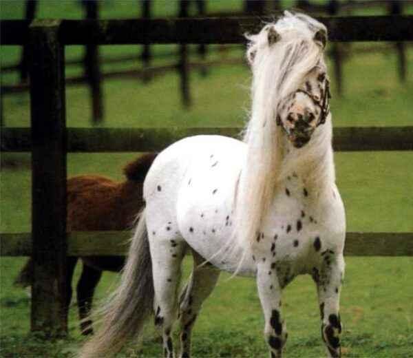Characterization of a Falabella Horse