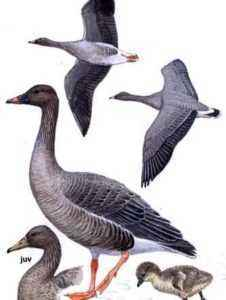 Characterization of Red-breasted Goose