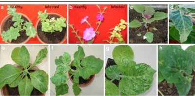 Characterization of Red Cucumber