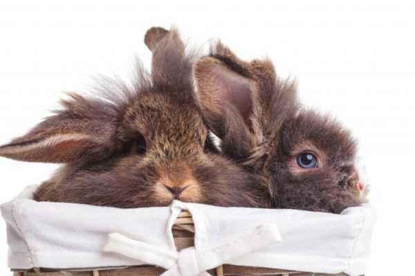 Chiktonik for rabbits