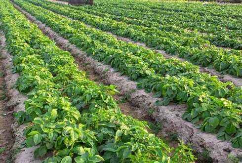 Chinese potato growing technology