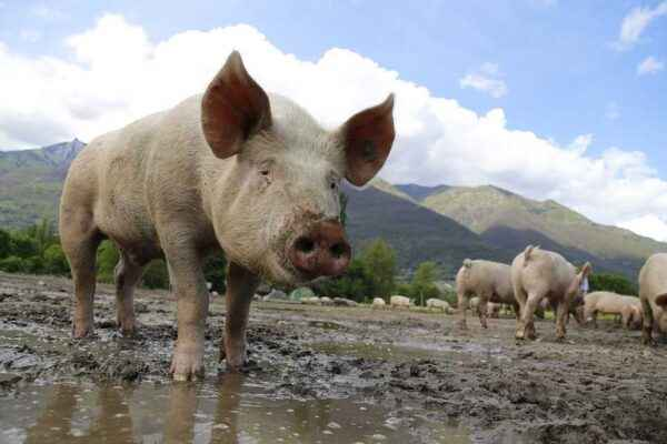 Classical swine fever and its consequences