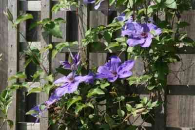 Clematis pruning in the fall