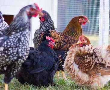 Common and rare breeds of chickens