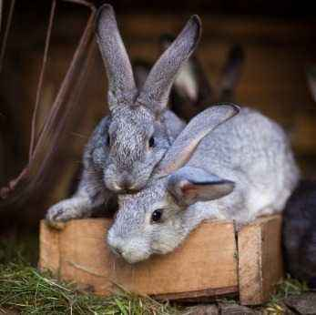 Common diseases of ornamental rabbits