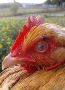 Common eye diseases in chickens