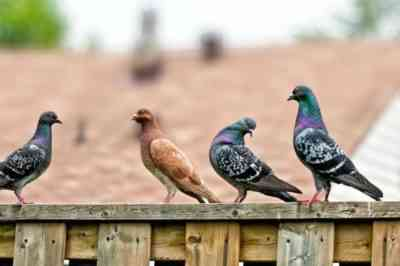 Common pigeon diseases and methods for their treatment