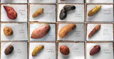 Common varieties of red potatoes