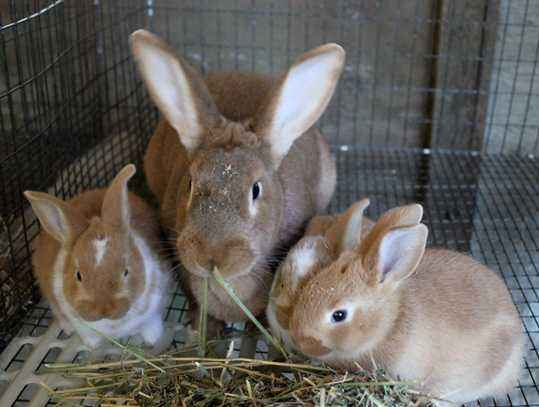 Compound feed for rabbits at home
