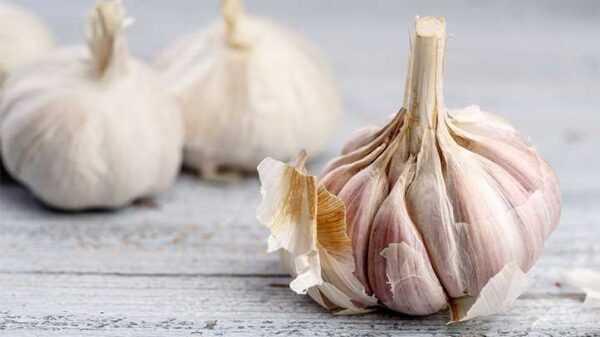 Conducting foliar nutrition of garlic