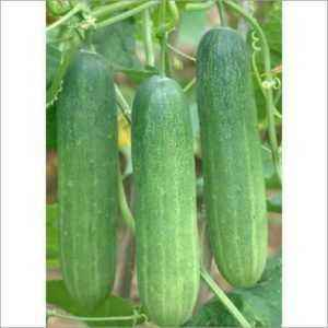 Cucumber variety City cucumber
