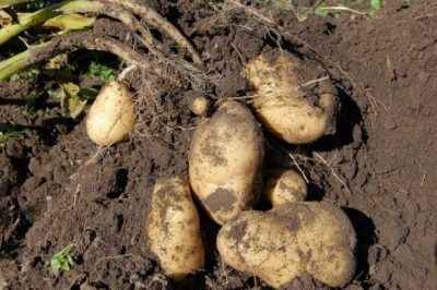 Dates and methods of harvesting potatoes