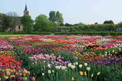 Dates and rules for transplanting tulips