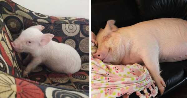 Decorative dwarf mini pig pig
