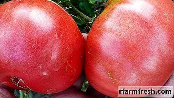 Description and characteristics of tomato variety Pink Souvenir