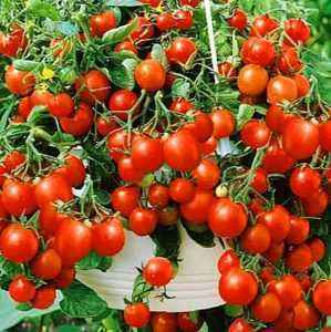 Description and characteristics of tomatoes Balcony Miracle