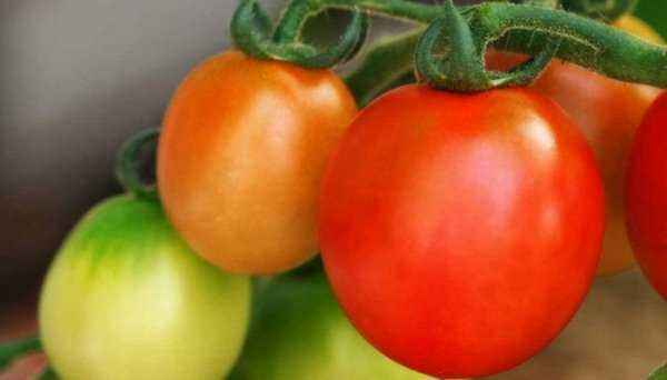 Description and characteristics of Tomatoes varieties Velozmoha