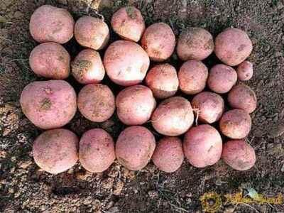 Description and description of potato Crimean Rose