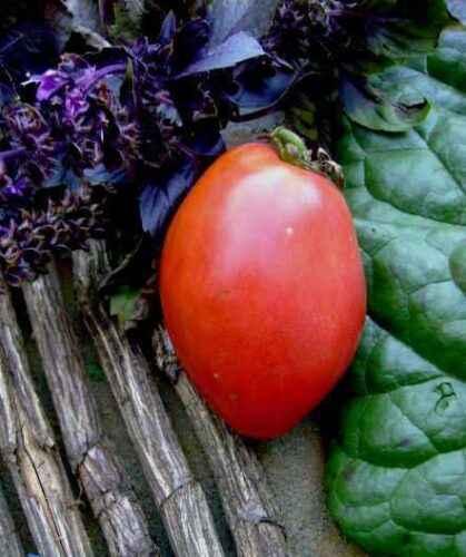 Description and description of tomato Favorite Holiday