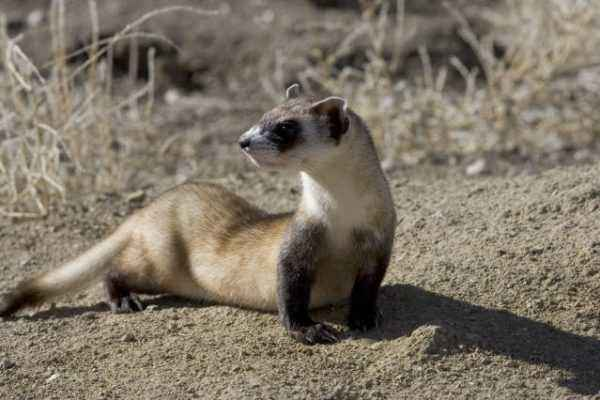 Description and features of the steppe ferret