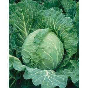 Description cabbage varieties Russian Size