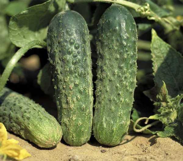 Description of Ajax cucumbers