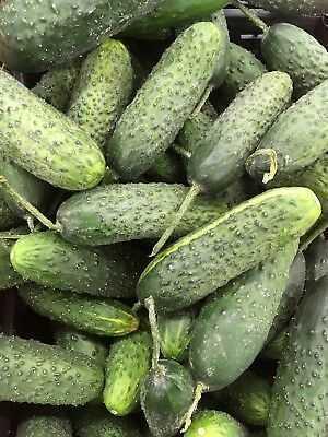 Description of Atlantis Cucumber Variety