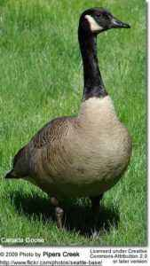 Description of breeds of geese