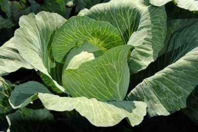 Description of cabbage varieties Novator