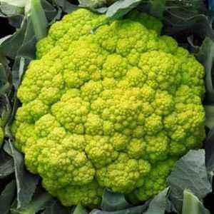 Description of cauliflower cultivar Freedom F1