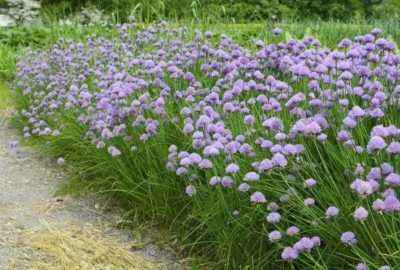 Description of chives