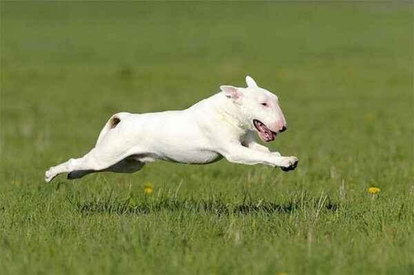 Description of colic white Pannon breed