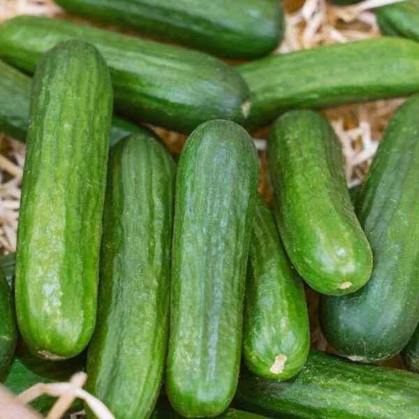 Description of cucumber variety