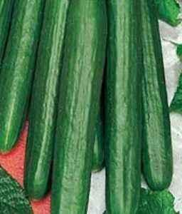 Description of cucumber Zozulya