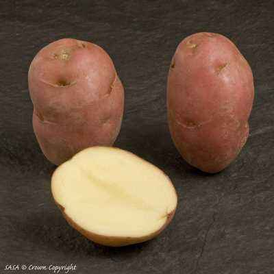 Description of Desiree Potato Variety