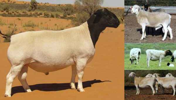 Description of Dorper Sheep