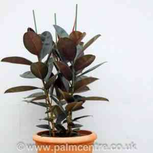 Description of Ficus Abidjan