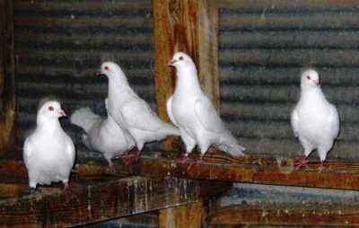 Description of meat breeds of pigeons