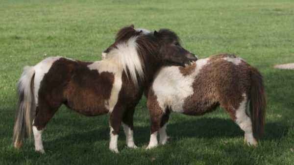 Description of mini horses